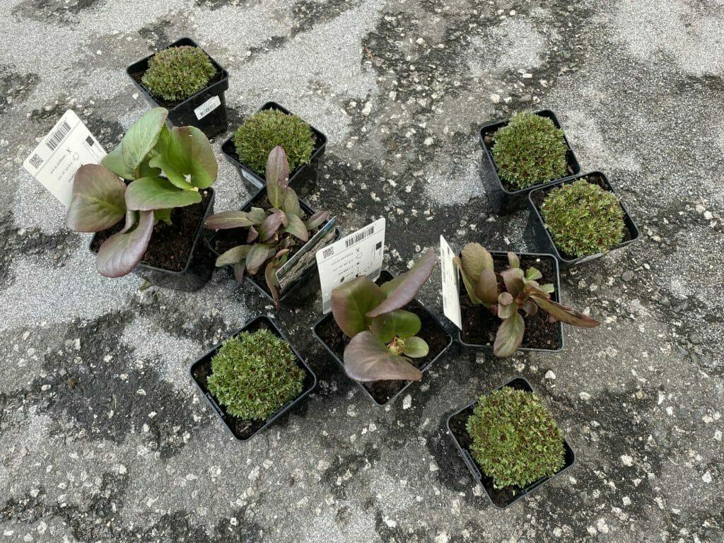 stenbedsplanter stenbed stenbede stenhave skygge