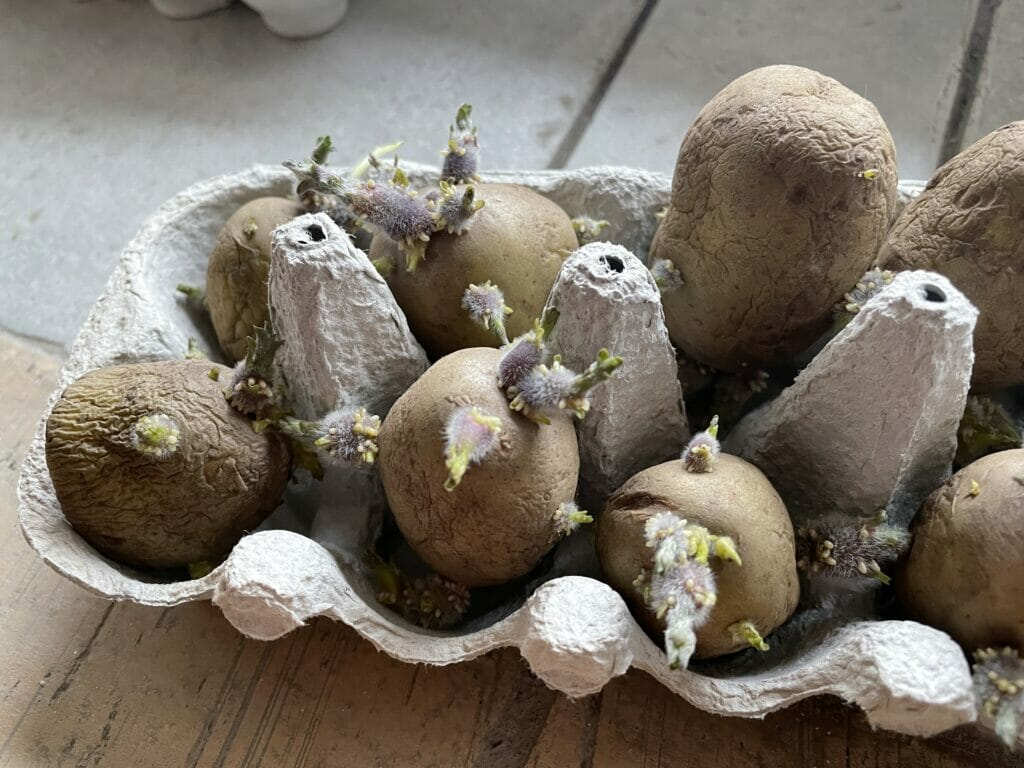 forspriring kartofler tidlige