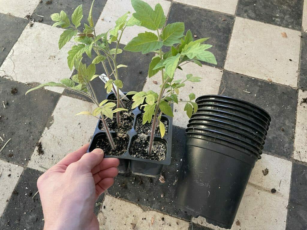 hvornår skal tomater prikles