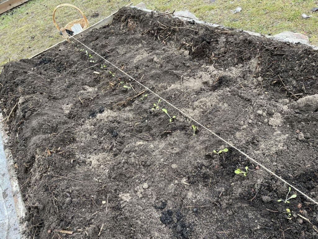 tidlig salat forspiring dyrkning
