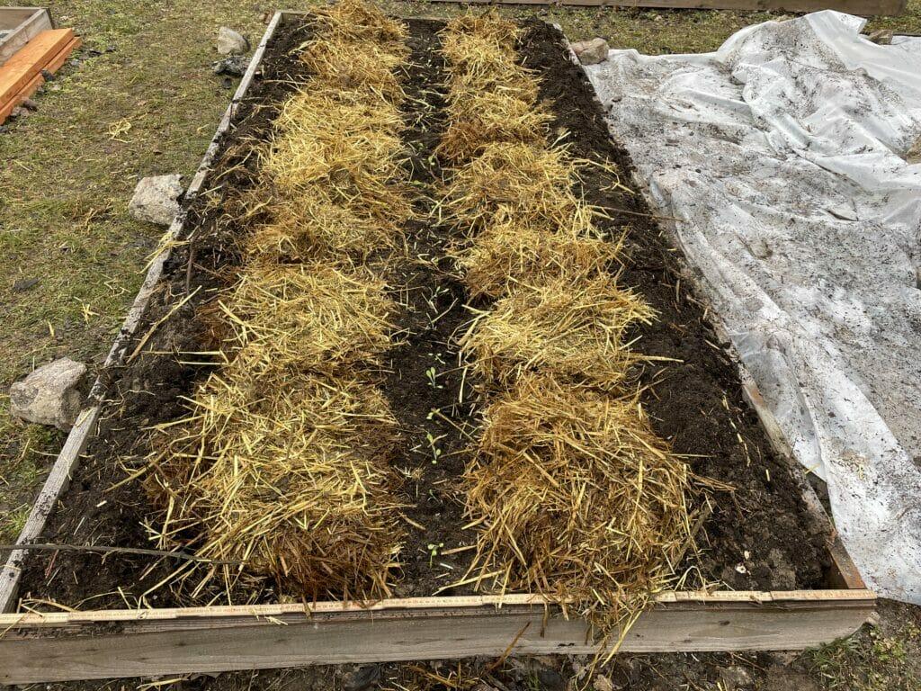 tidlige kartofler lægning dyrkning forspriring