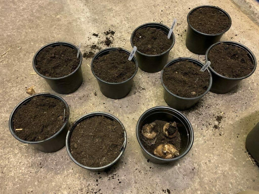 påskeliljer potte dyrkning indendørs lægning