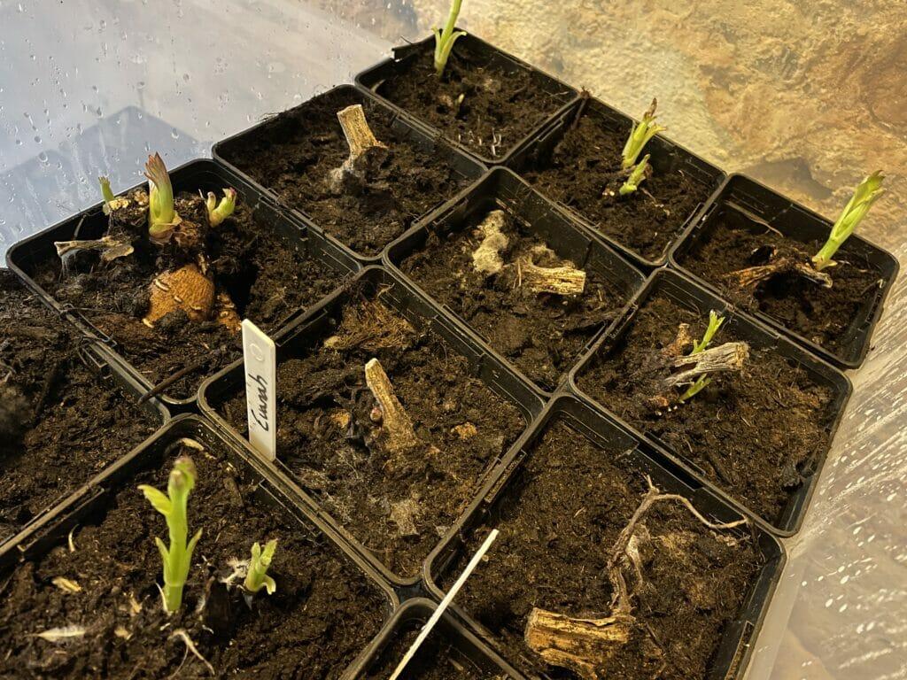 forspiring georginer dyrkning