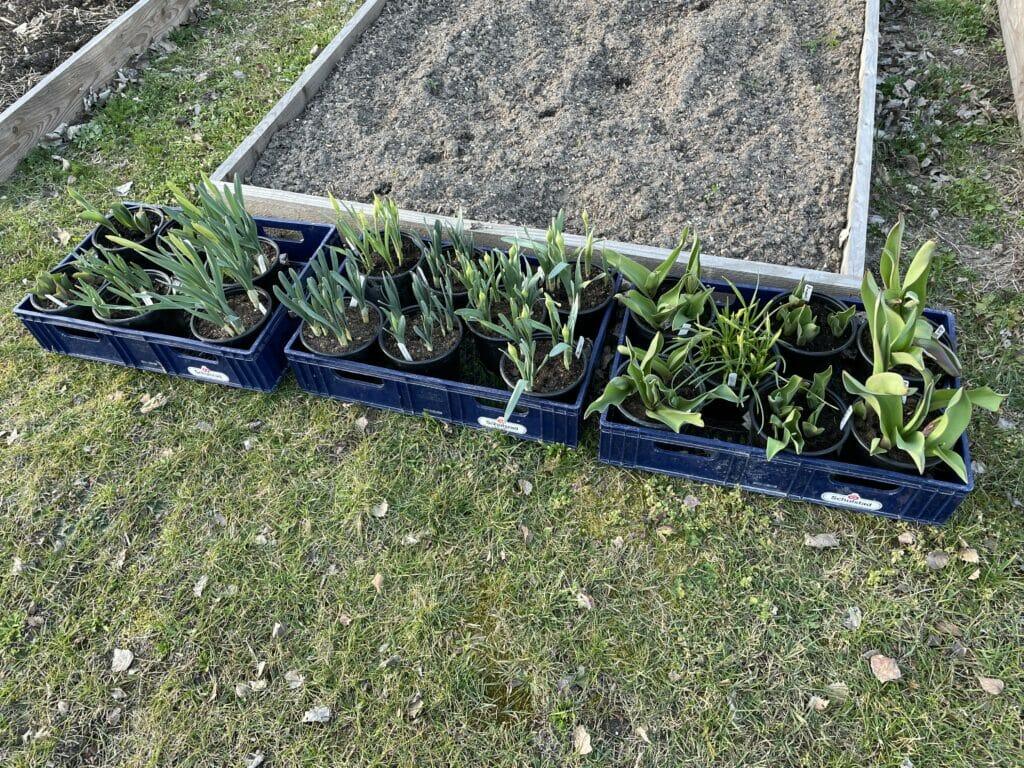 påskeliljer potte dyrkning indendørs