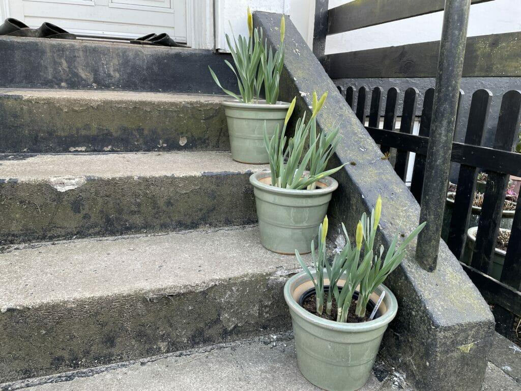 påskeliljer i potte krukke påskelilje