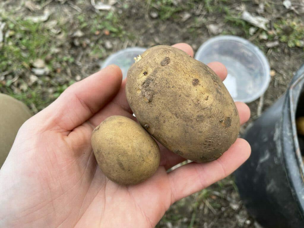 kartofler dyrkning billige læggekartofler