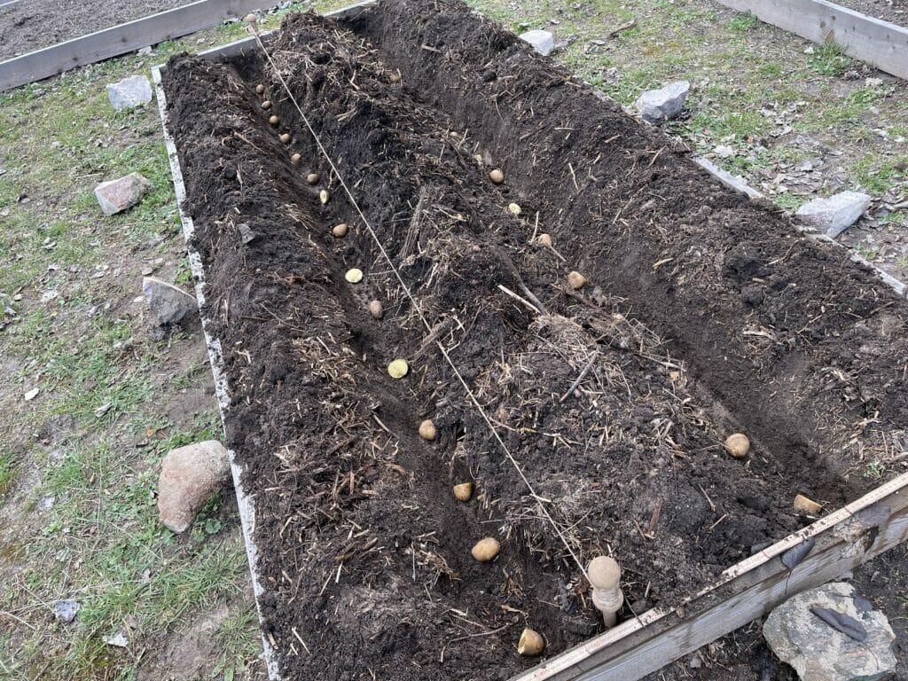 lægning af kartofler dyrkning tidlige