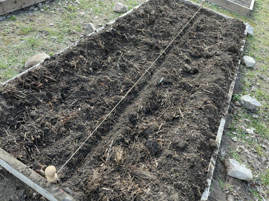 såning af salat vintersalat