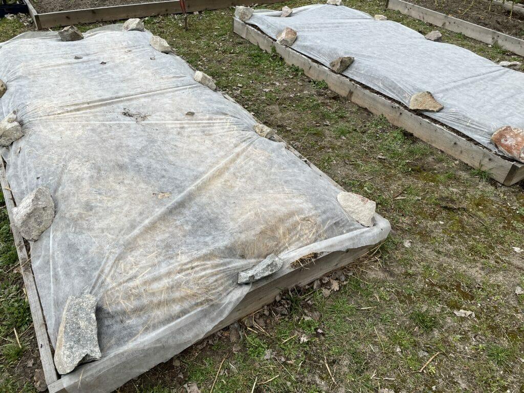 lægning af kartofler dyrkning tidlige fiberdug