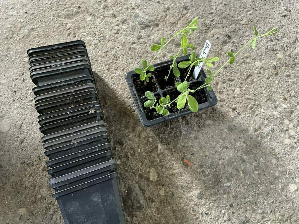 forspiring af ærteblomster dyrkning såning ærteblomst