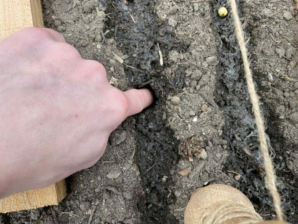 dyrkning af ærter tidlige ærtesorter plantning