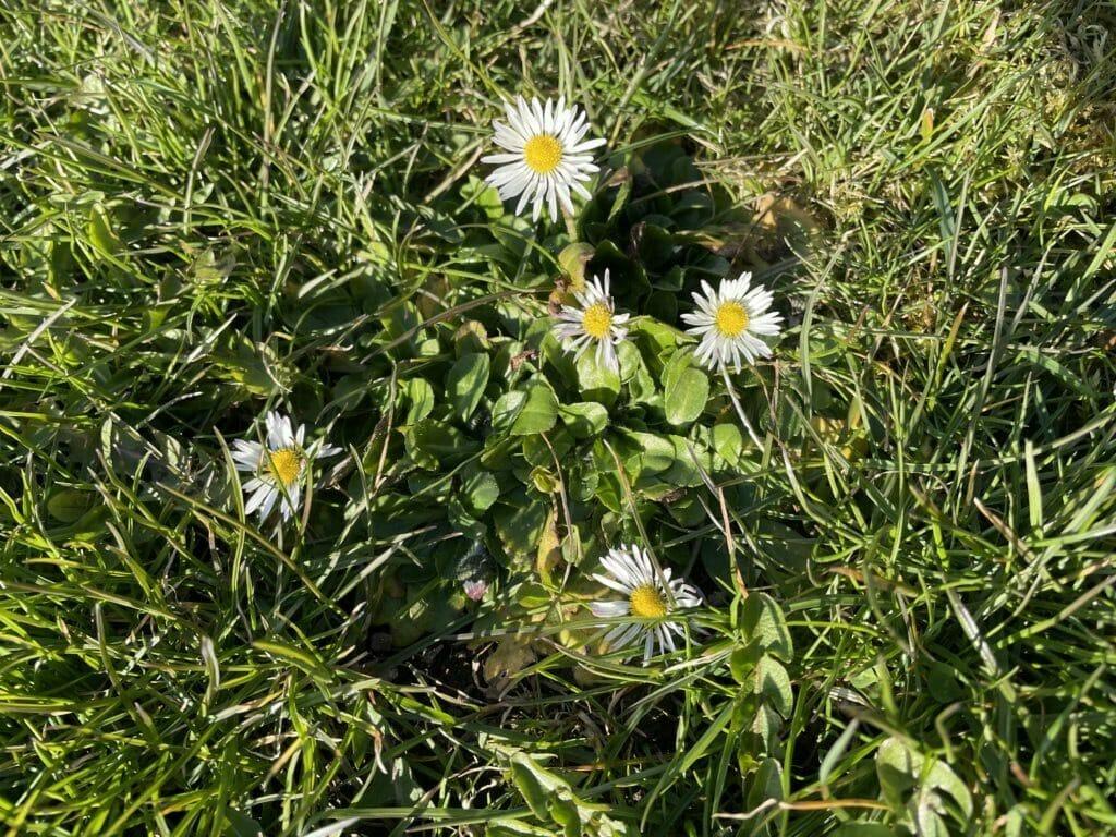 vild have blomster græsplæne