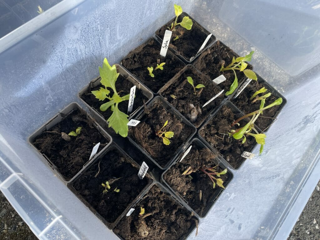 minidrivhus mini drivhus forspiring forkultivering georginer dahlie