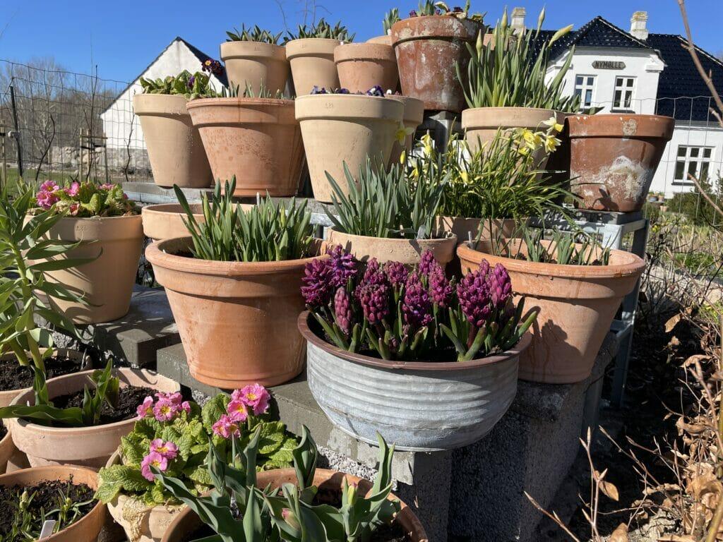 krukker med forårsløg tulipaner hyacinter