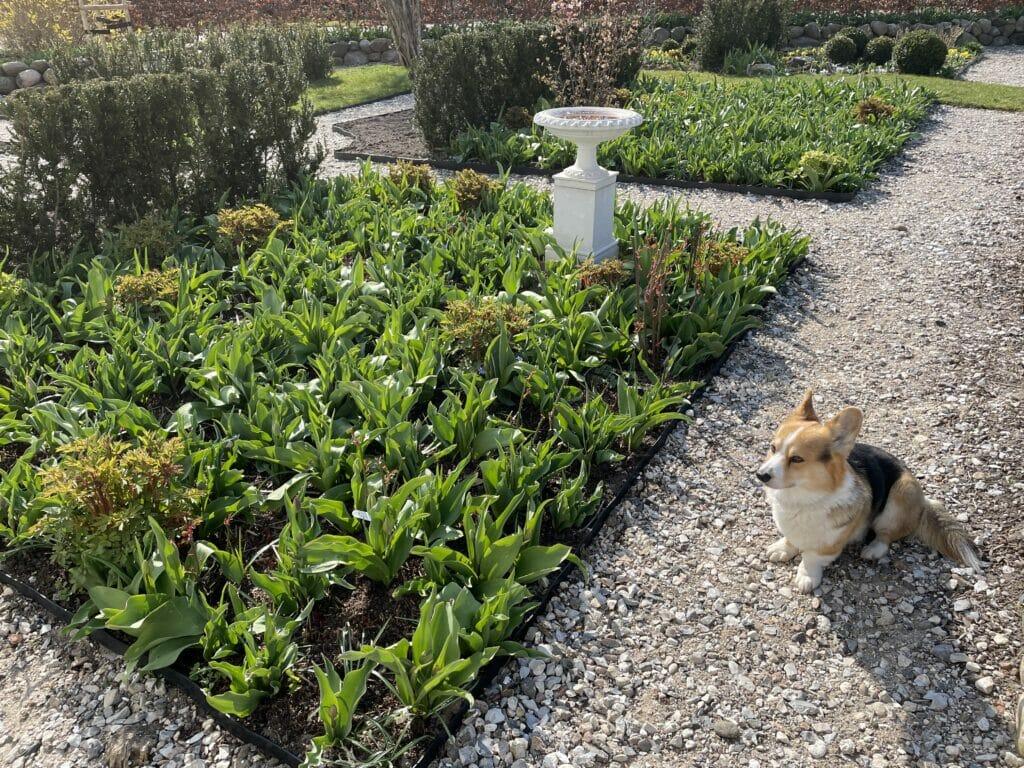 sikre tulipaner som kommer igen