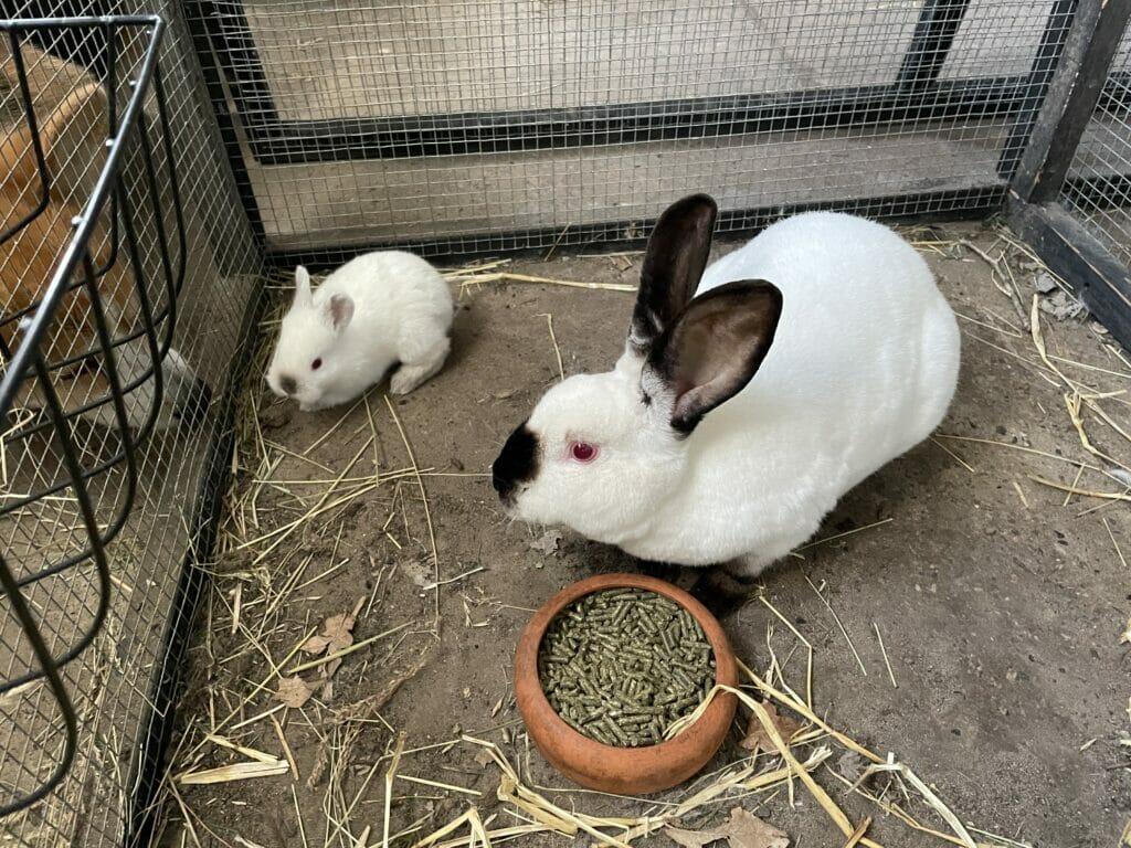 kaninunger kanin opdræt kaniner avl