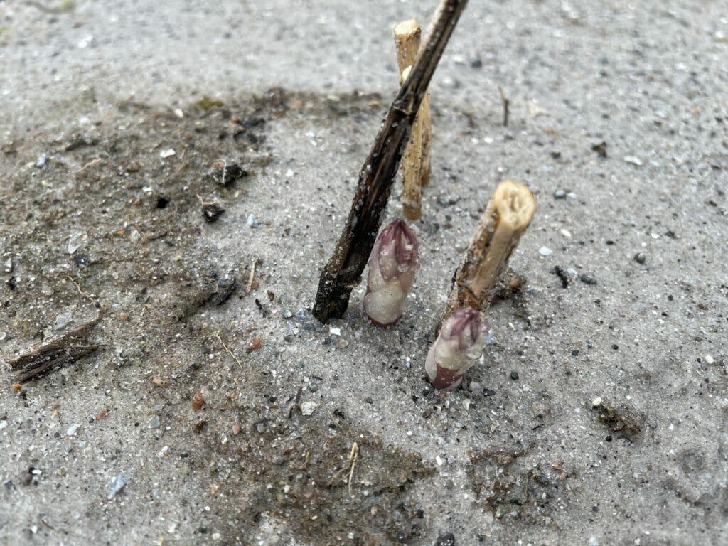 tidlige grøntsager fra haven asparges dyrkning