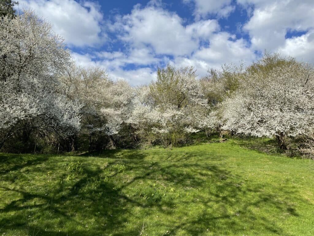blomstrende træer hvide blomster