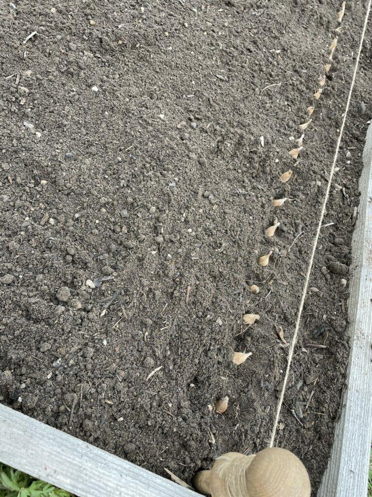 lægning af fresia løg plantning dyrkning