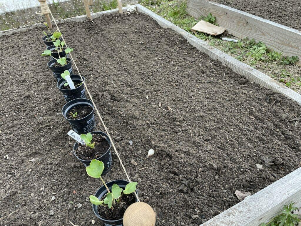 plantning af ranunkler ranunkel plantning forspiring