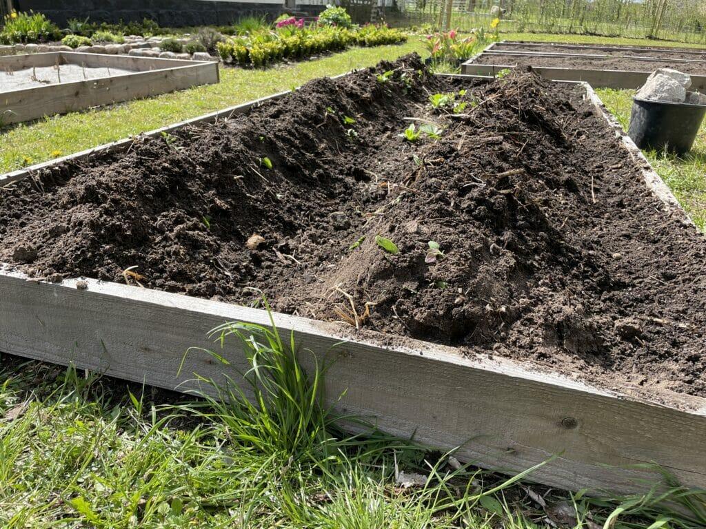 hypning af sommerkartofler tidlige dyrkning