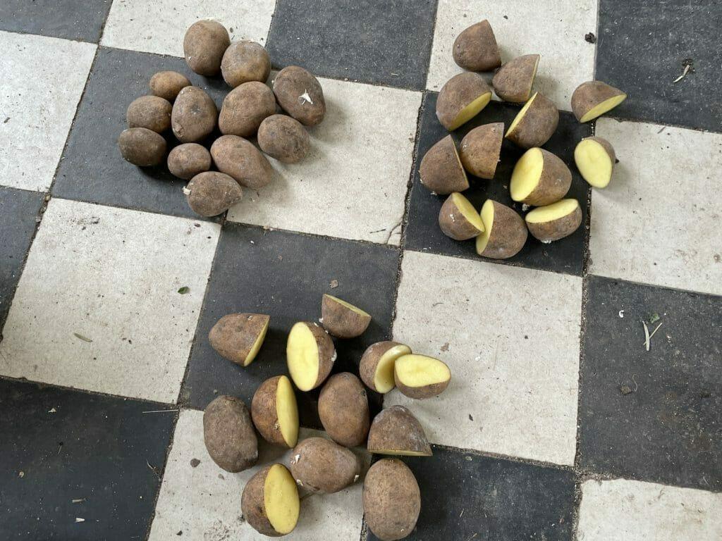 sene kartofler dyrkning kartoffeldyrkning sava king edward vinterkartofler vinter udbytte læggekartofler