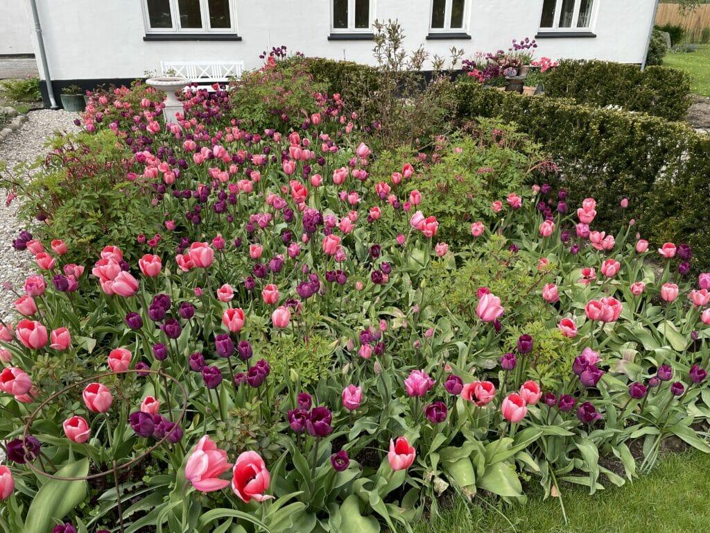 tulipaner have blomster mange
