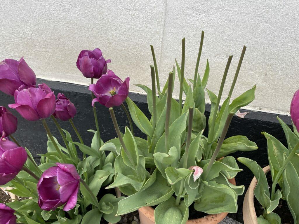 flerårige tulipaner sikre