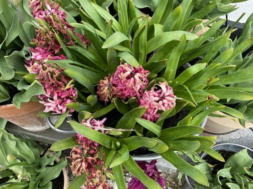 hyacint klip ned dyrkning andet år