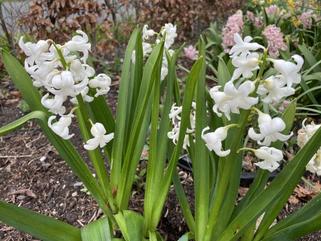 kommer hyacinter igen tæt blomst