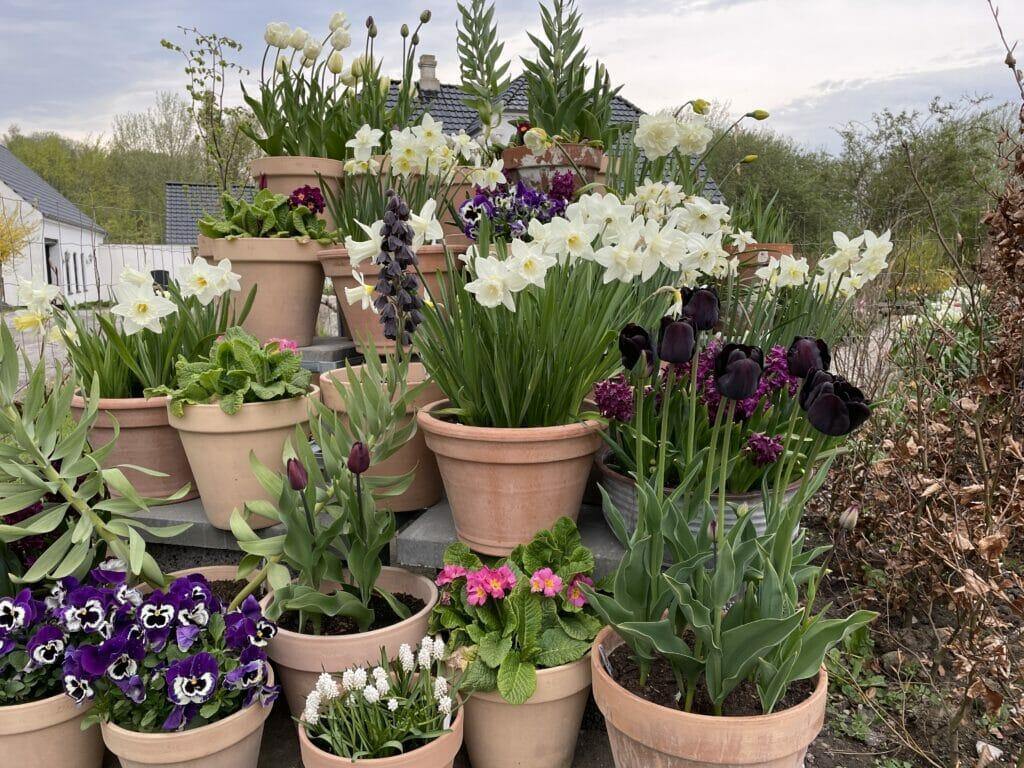 flerårige tulipaner sikre tulipanløg