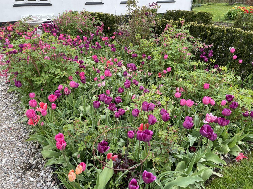 klip tulipaner ned flerårige tulipanløg sikre