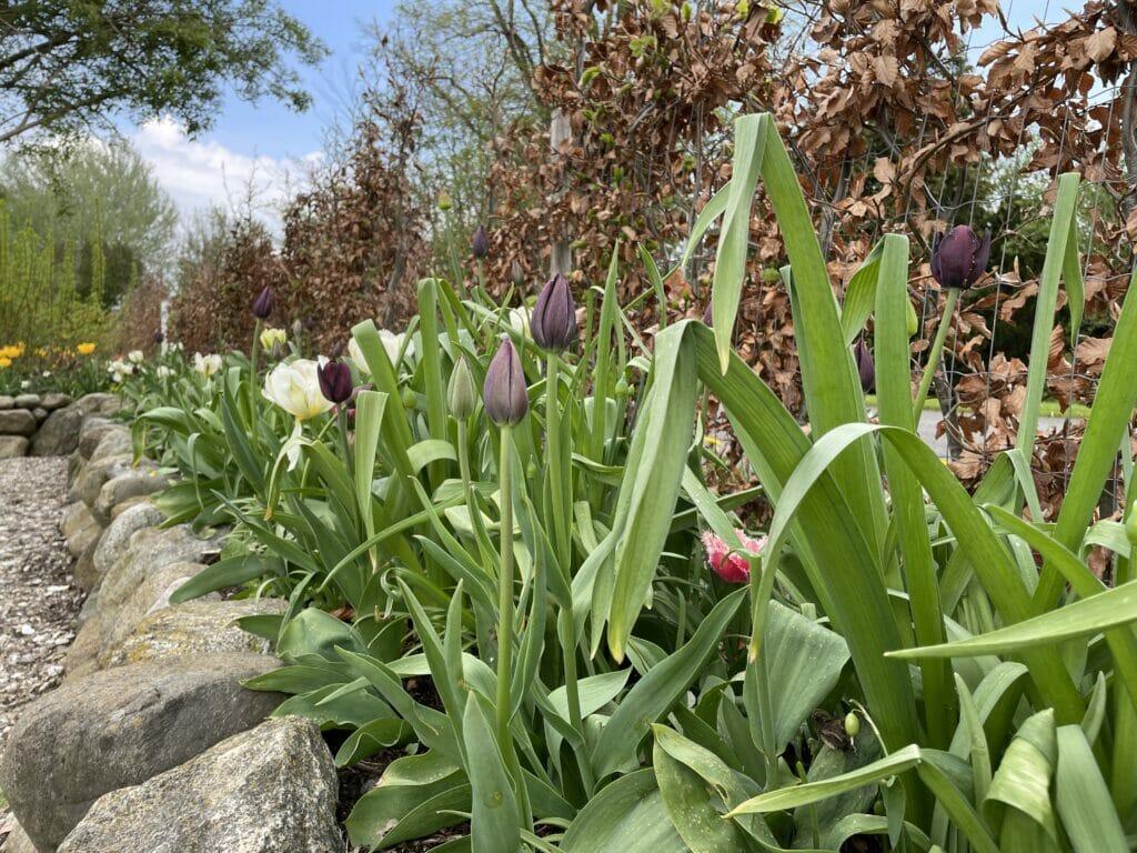 sort tulipan Queen of Night