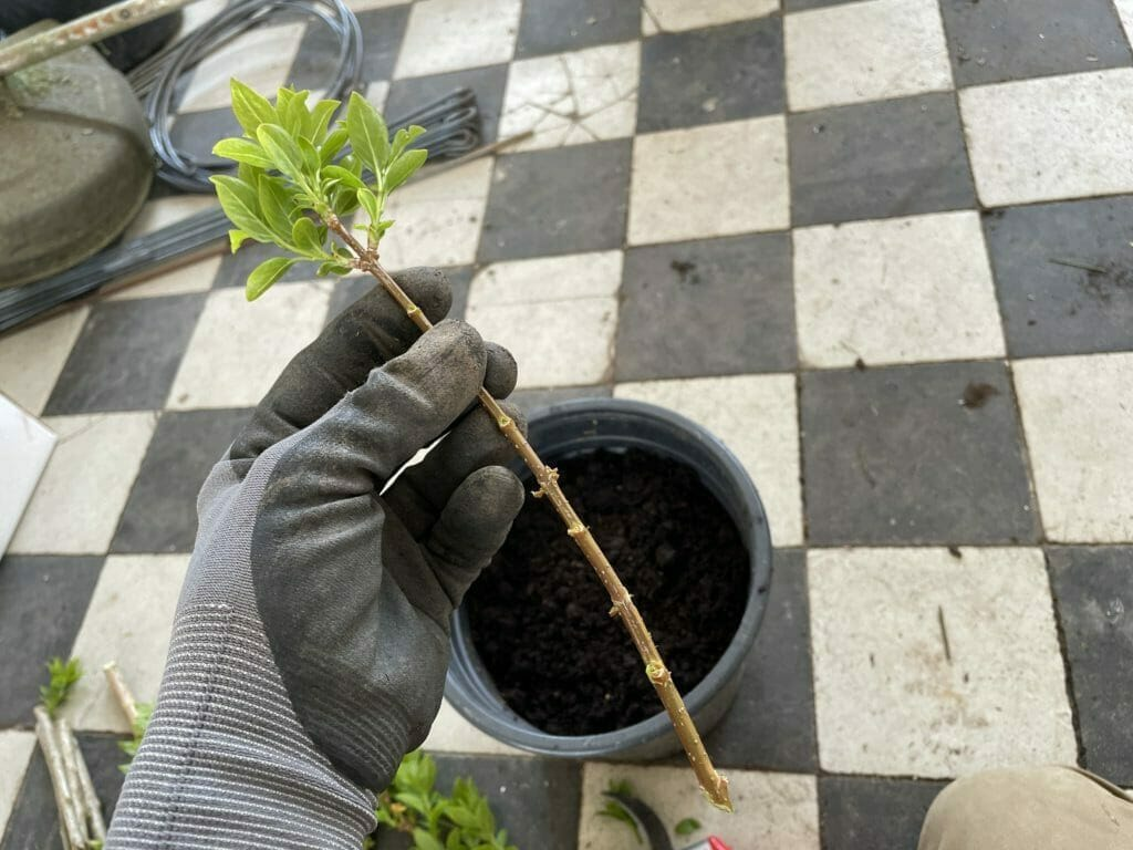 stiklinger af træer buske egne planter stikling