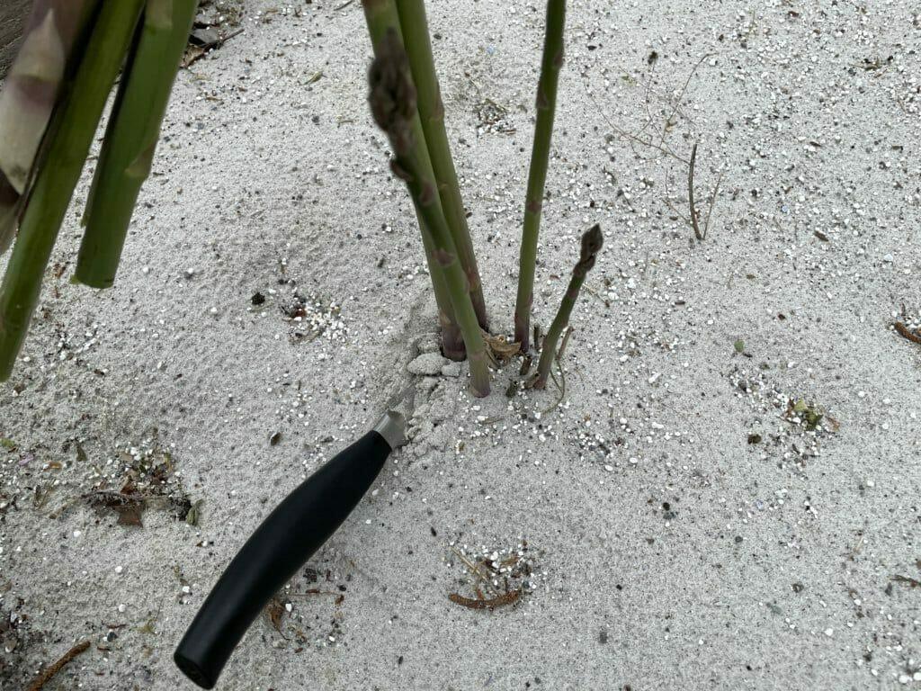høst af asparges dyrkning aspargesbed køkkenhave