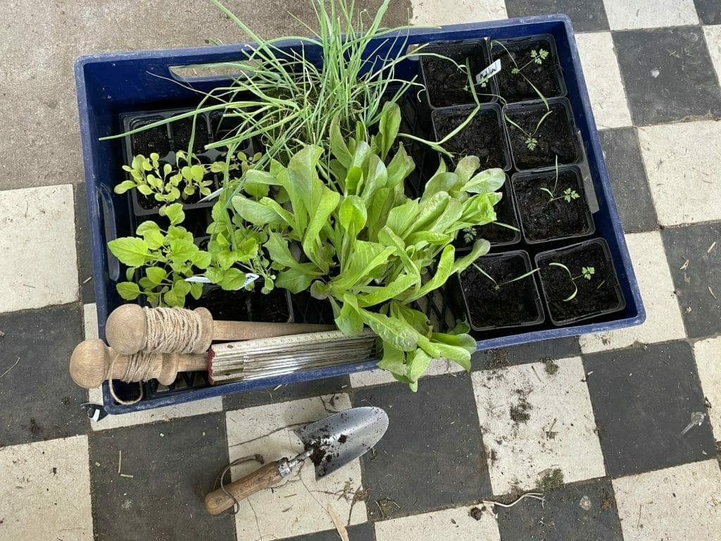 udplantning af porrer plantning dyrkning salat