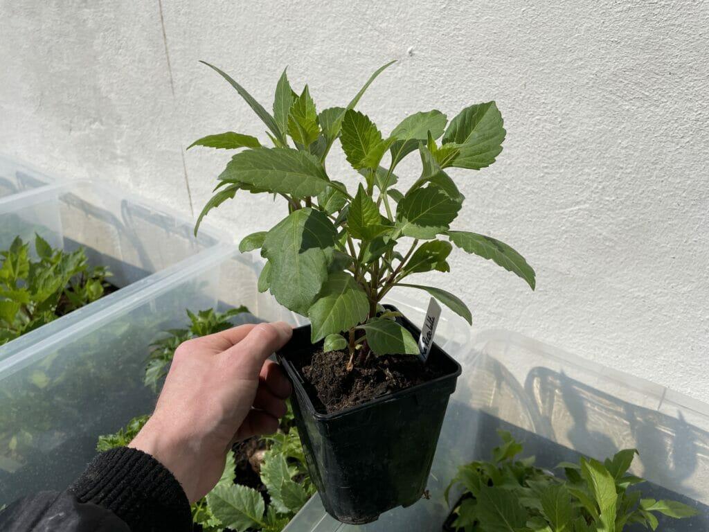 georginer udplantning pottede forspirede store