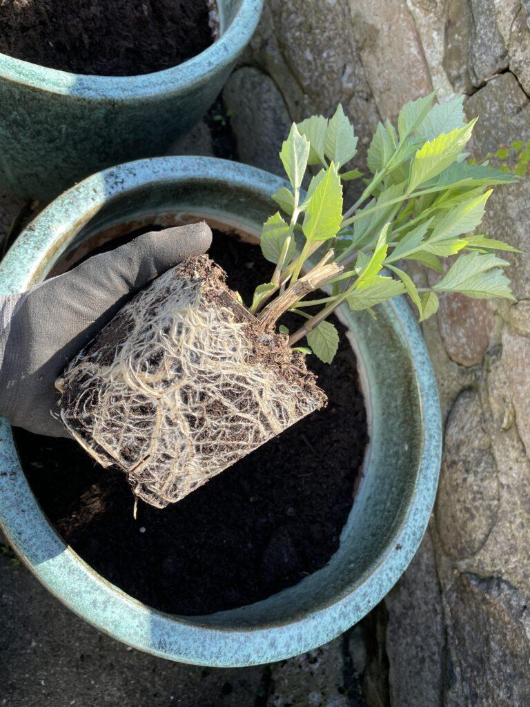 georginer udplantning dahlia beskæring forgrenet