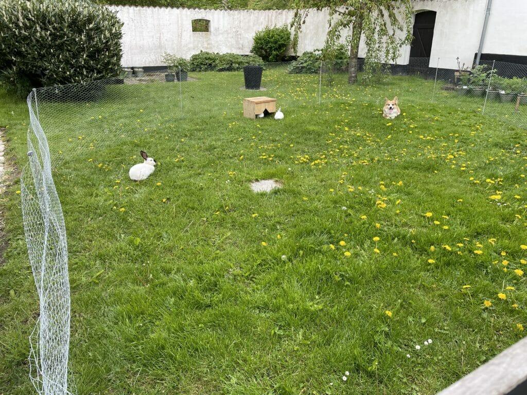 kanin kaniner kaninavl løbegård