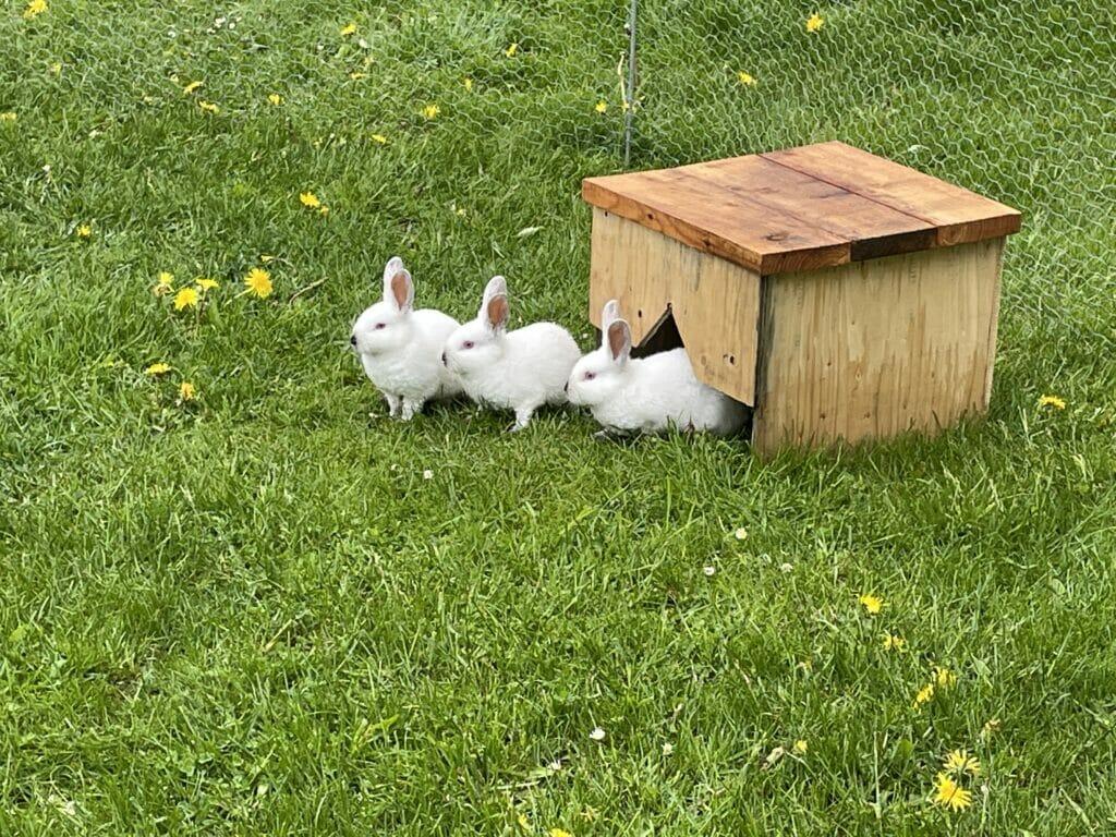 kaninunger kanin kaninavl slagtekaniner