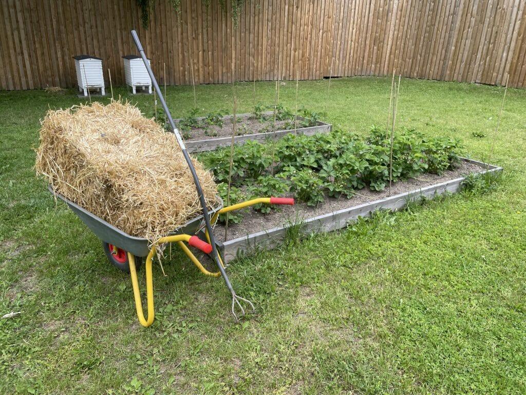 net halm jordbær dyrkning egen avl hjemmeavlede