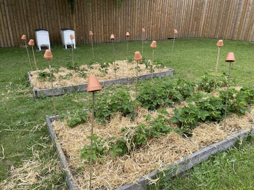net jordbær dyrkning egen avl hjemmeavlede