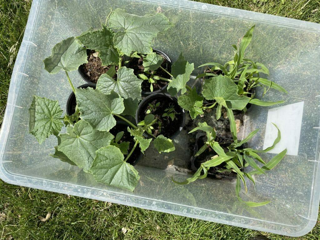 dyrkning asier agurk plantning forspiring såning