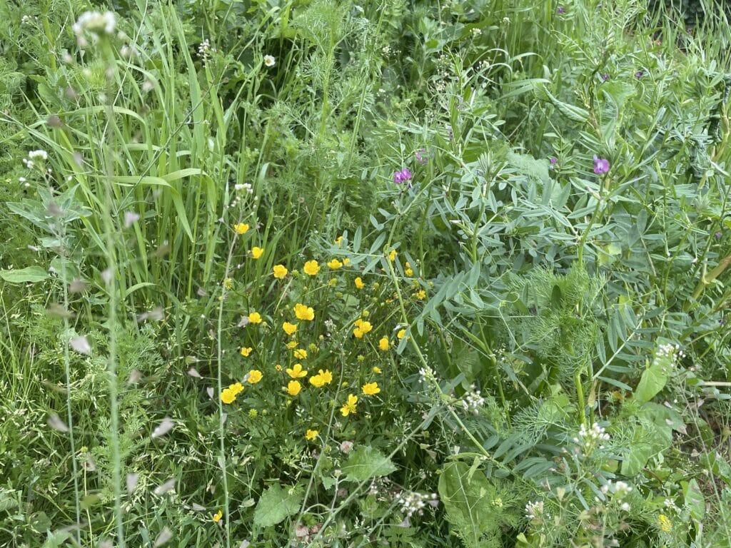 vild have blomstereng hjemmehørende blomster