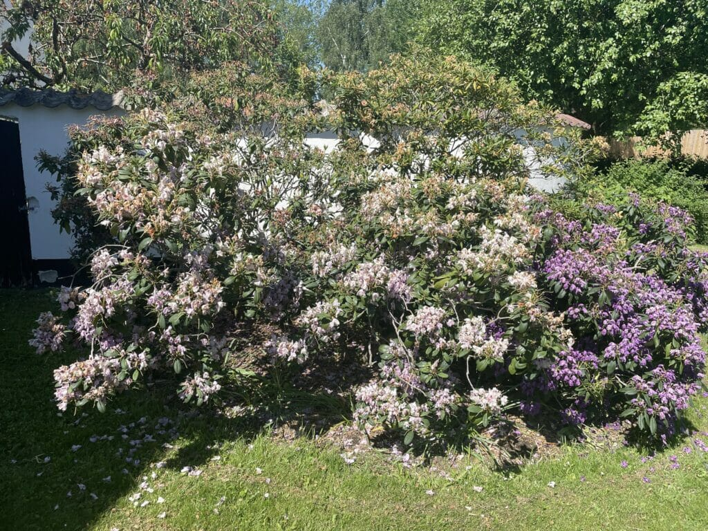 rhododendron blomstring rododendron beskæring