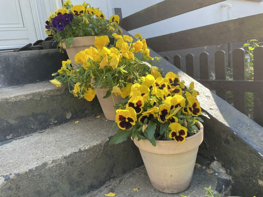 stedmoder stedmoderblomst forårsblomst krukker krukkehave trappe