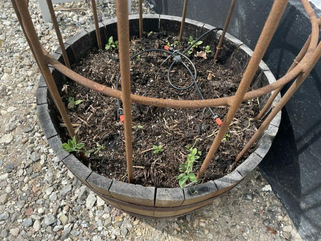 ærteblomster forspiring udplantning