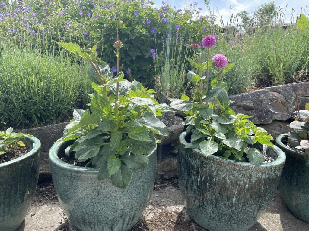 Flotteste dahlia krukker georginer planter store