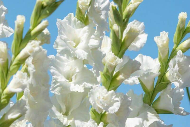hvid gladiolus løg blomst