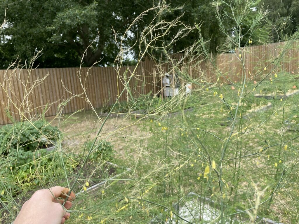 utøj i asparges skadedyr insekter